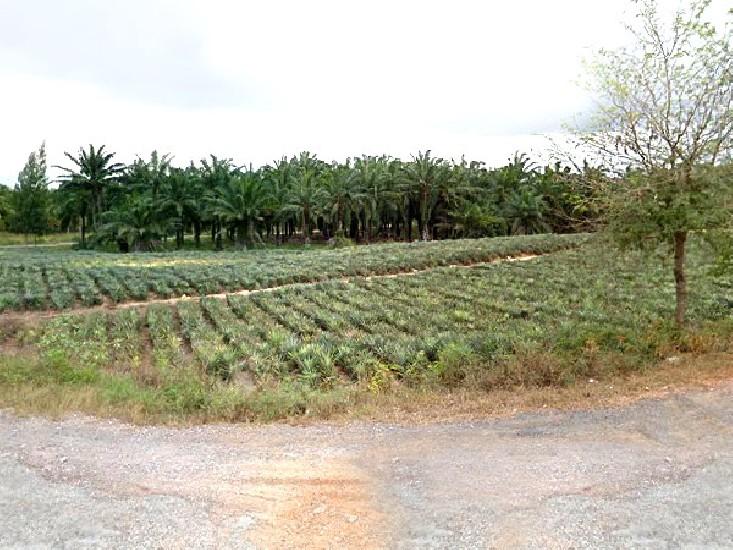 สวนปาล์ม-สับปะรด 56 ไร่ อ.สามร้อยยอด จ.ประจวบ ใกล้ถนนเพชรเกษมเพียง 3.5 กม.